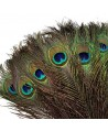 Pluma pavo real 30cm largo