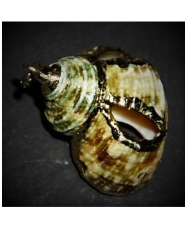 Conchas caracol electro-chapadas  natural/oro 25x25-30x28mm